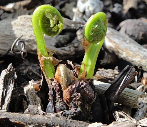 fiddlehead fern